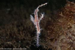 BD-140325-Dumaguete-3887-Solenostomus-paradoxus-(Pallas.-1770)-[Harlequin-ghost-pipefish.-Spökkantnål].jpg